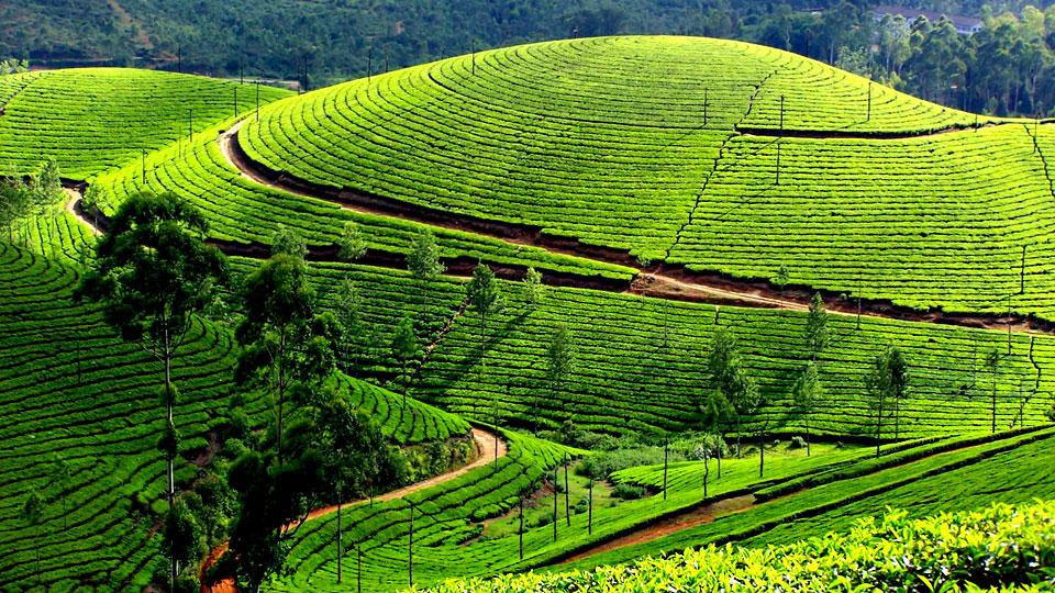 kerala munnar tea garden